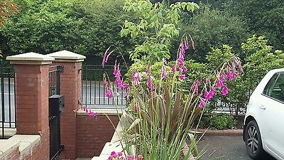 DIERAMA Angeles Fishing Rod 3 plants in 9cm pots /3.5""