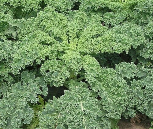 200 Siberian Improved Kale Seeds Garden Vegetable Seeds