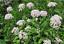 Valeriana-officinalis-Seeds-common-valeriana-organic-seeds-non-gmo-Ukraine-0-1-g thumbnail 5