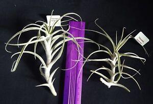Bromeliad-Tillandsia-incarnata-x-1