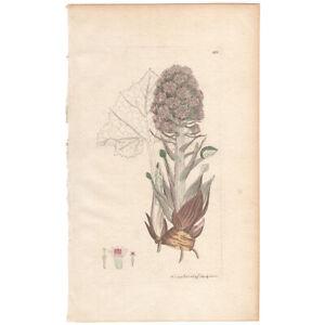 Sowerby antique 1st ed 1795 hand-colored engraving botanical Pl 431 Butter-bur