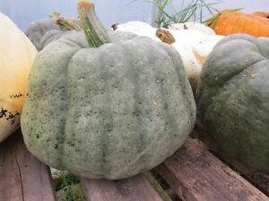 Squash-Seeds-25-Blue-Winter-Squash-Seeds-Blue-Pumpkin