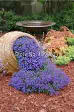 100 graines à semer rock cress blue superbe vivace bleu en cascade - nouveauté
