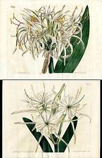 1807 Curtis Botanical Magazine Double Pancratium, Crinum, 2 Antique Prints
