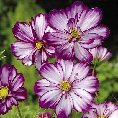 FLOWER COSMOS BIPINNATUS FIZZY ROSE PICOTEE 1GM ~ 190 SEEDS