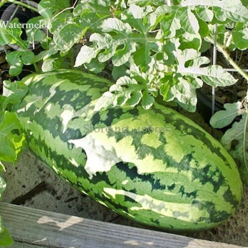 GIANT Watermelon 20 Seed ORGANICALLY GROWN XXL Size Watermelon Super Sweet Large
