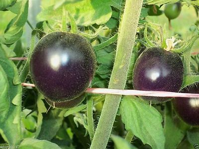 Indigo Rose PURPLE / BLUE TOMATO Organic 25 NON-GMO seeds High Anthocyanin