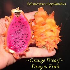 ~Orange Dwarf~ Dragon Fruit Selenicereus megalanthus Pitaya Rare 100 Fresh Seeds