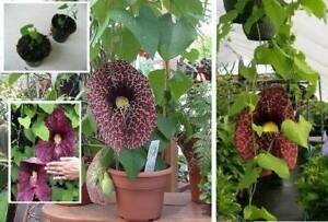 Sukkulente-Tropenblume-faengt-Muecken-Gespensterpflanze-immergruene-Topfstauden