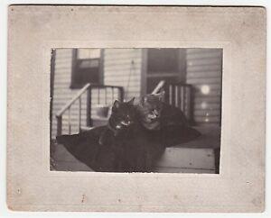 Cute-ca-1890-Victorian-Photo-of-Kitty-Cats-Homemade-Amateur-Upstate-NY