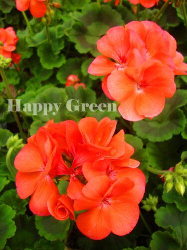 GARDEN GERANIUM SALMON Perennials F2 10 seeds -Pelargonium hortorum