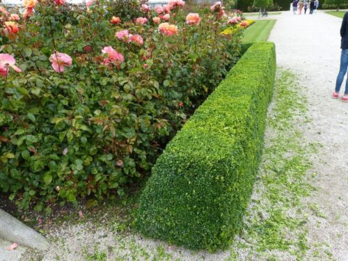 18 Common Box 30-40cm Buxus Sempervirens,Big Bushy Evergreen Hedging Plants