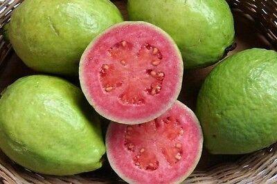 Psidium guineense - Brazilian Guava - Rare Tropical Plant Tree Seeds (10)