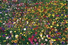 200 Semillas De Encantador Colorido Enano De Flores Silvestres mezcla salvaje Flores Naturales