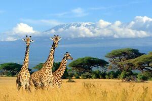 A1-Giraffe-Poster-Art-Print-60-x-90cm-180gsm-Africa-Wild-Animal-Fun-Gift-8150