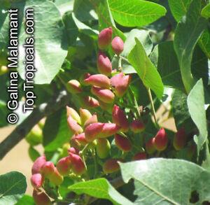 Pistacia-vera-Echte-Pistazie-10-100-Samen
