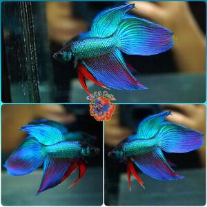 Live Betta Fish Male NEW HYBRID WILD BETTA VEILTAIL #B690