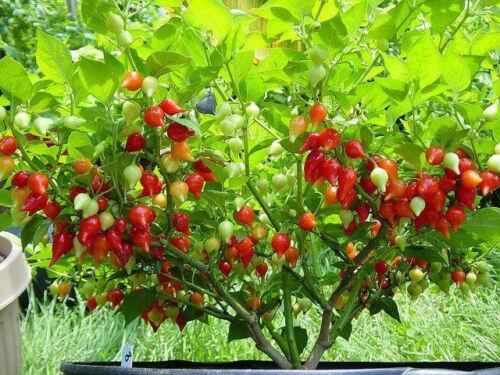 Red Biquinho Pepper Fresh Seeds-The Real BIQUINHO
