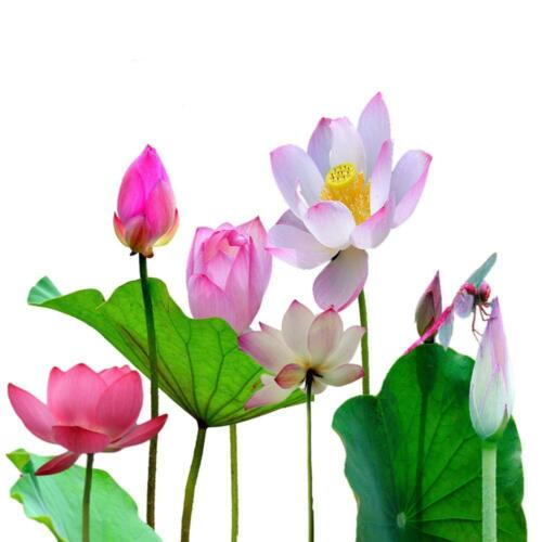 New 5 pcs Bowl Lotus seeds Bonsai Lotus Flower Seeds Plants Water Lily in house