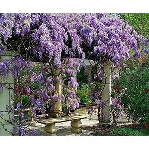 Live-Plant-Amethyst-Falls-Wisteria-Vine-Flowers-3-034-Pot-Garden-Outdoor-Yard