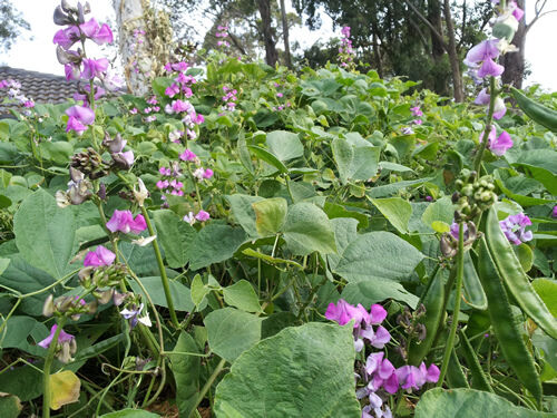 Hyacinth Bean, Indian / Bangladeshi Bean - A Very Delicious Variety!!! - 5 Seeds