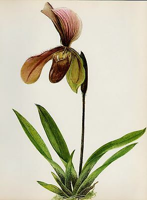 Lovely ORCHID Print Botanical Flower Print Cottage Decor Paphiopedilum A. 1115