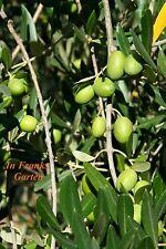Olivenbaum @ Ölbaum @Olea europaea@Kübel-Pflanze @ frosthart bis -10°C @ 5 Samen