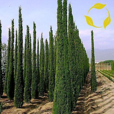 150 FRESH Italian Cypress STRICTA variety Cupressus Sempervirens seeds