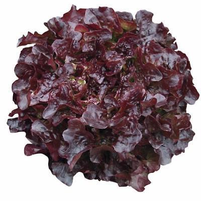 Doeltreffend Pack Vegetable Garden Seed Lettuce Oakleaf 'navara' King's Seeds Een Brede Selectie Kleuren En Motieven
