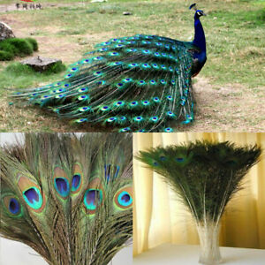Newly-10Pcs-Real-Natural-Peacock-Tail-Feathers-10-12inch-Home-Room-Decor-DIY