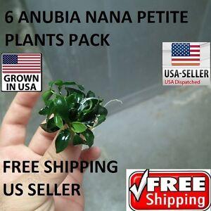 6 Rare anubia nana petite plants Easy Aquarium aquascaping planted tank