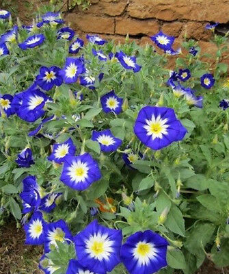 Convolvulus Tricolor BLUE ENSIGN G907 SEEDS 25 graines de BELLE DE JOUR BLEUE