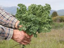 500 DWARF SIBERIAN KALE SEEDS HEIRLOOM 2017 (non-gmo heirloom vegetable seed)