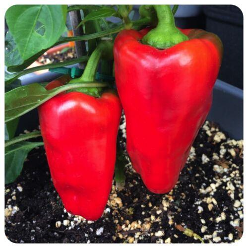 Balkon o Cubanelle roter süßer Paprika frühreifender Gemüsepaprika f Terrasse