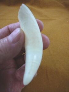 "(G376-257-5) 3-5/8"" GATOR Alligator Aligator Tooth TEETH Make your own jewelry"