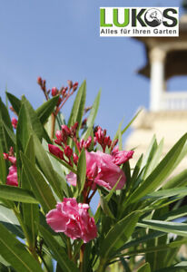 Nerium-Oleander-rose-rosa-Bluehpflanze-Blumen-Gesamthoehe-ca-120-140-cm