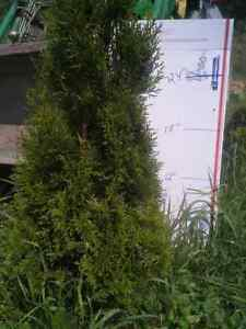 1-Emerald-Green-Arborvitae-Tree-35-034-42-5-Yr-transplants
