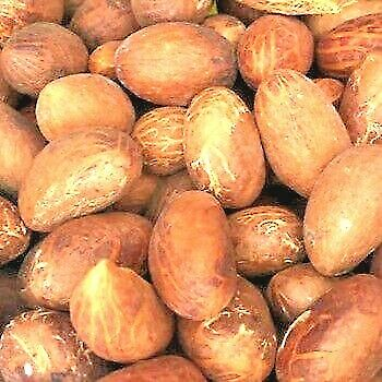 Bitter Kola nut,African Bitter Cola ,Fresh Garcinia Kolanuts 8oz : 20 nuts