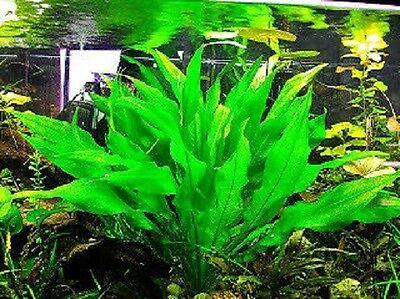 echinodorus bleheri /  grisebachii 20/25cm lot x 3 plante aquarium facile