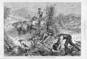 1881-Antique-Print-AMERICA-HUSBANDRY-Pumpkins-Maize-Farmers-242