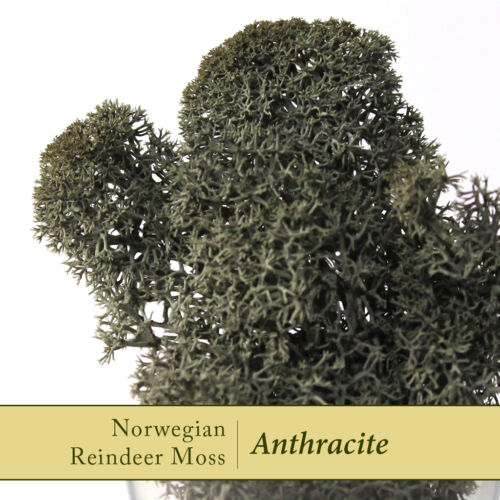 Dried Reindeer MossAnthracite dark grey Perfect for air plants /& Crafts