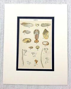 1898-Antique-Print-Sea-Creatures-Animals-Seashells-Sea-Shells-Natural-History