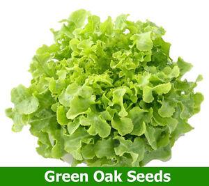 100-HYDROPONIC-SEEDS-LETTUCE-SEEDS-Green-Oak-SEEDS-200-Seeds