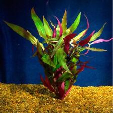 Bunched Scarlet Temple Live Aquarium Plants Alternanthera reineckii