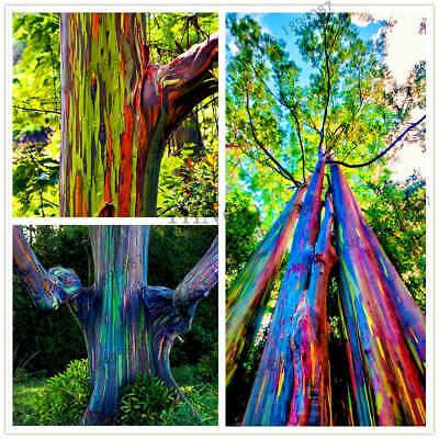 100pcs Eucalyptus Deglupta Tree Rainbow Seeds Mindanao Gum Multi