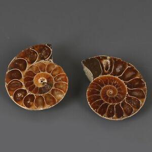 Natural Amonita Fossil Especimen Cristal Curativo Piedra 74.00CT 2 Piezas Lote