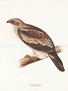 PAINTING-BIRDS-GOULD-BOOTED-EAGLE-ART-PRINT-POSTER-LAH525A