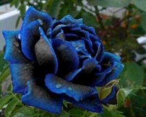 USA-Seller Midnight Blue Rose Black and Blue Petals 50 Pcs seeds