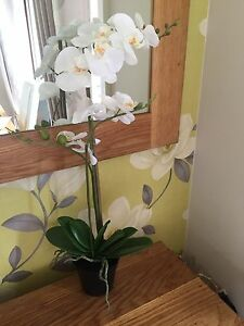 White-Phalaenopsis-Orchid-In-Black-Pot