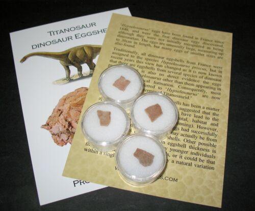 Cretaceous Hypselosaurus Titanosaur dinosaur eggshell fossil in gem jar ID card